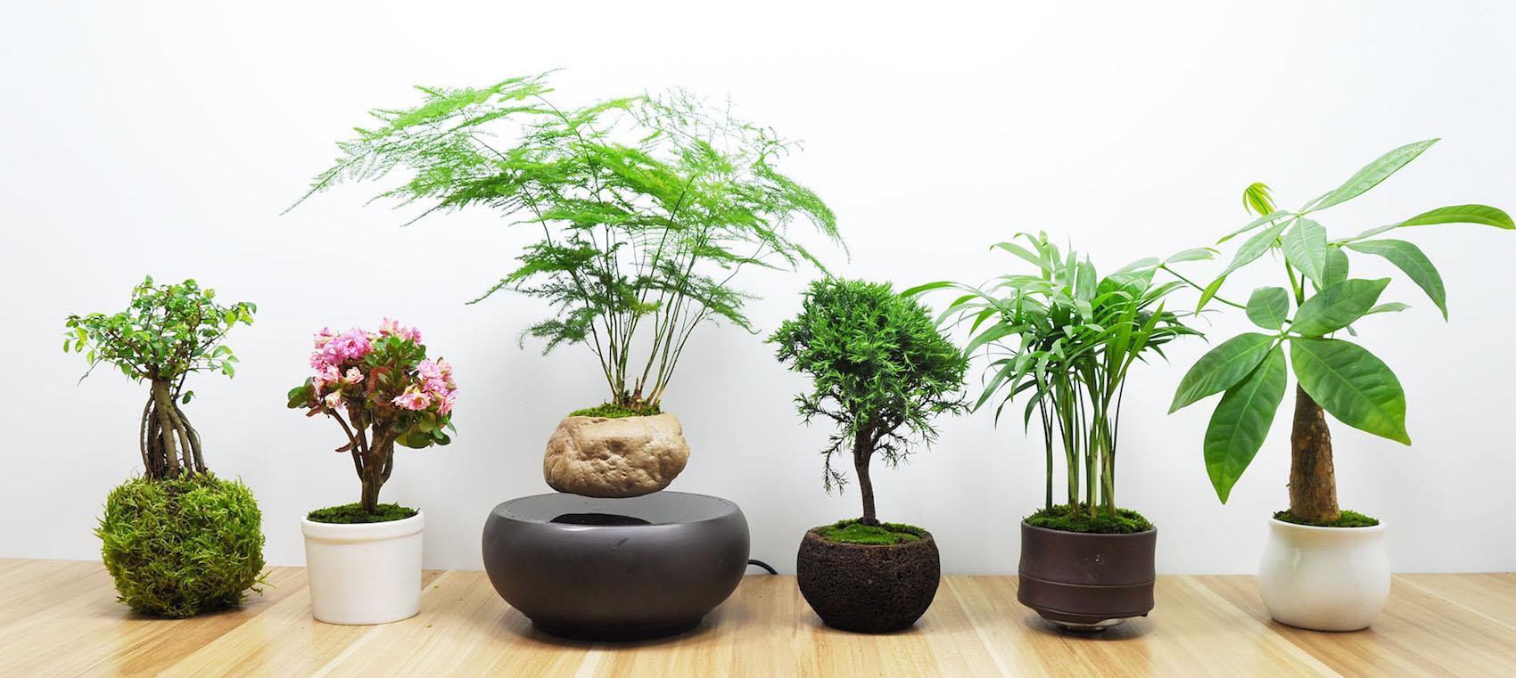 Bildquelle: air-bonsai.net – Allen Hu
