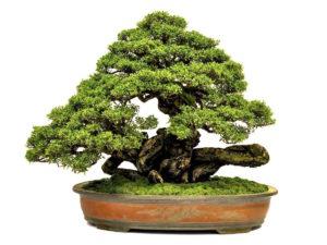 bonsai-alter-und-wert